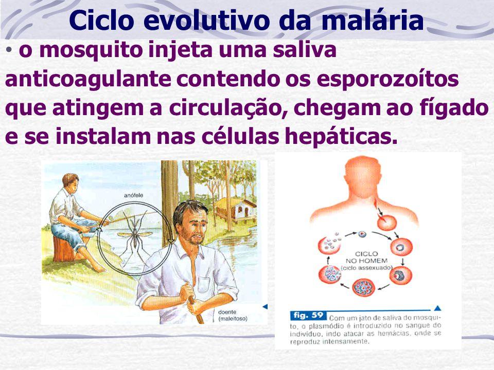 Ciclo evolutivo da malária