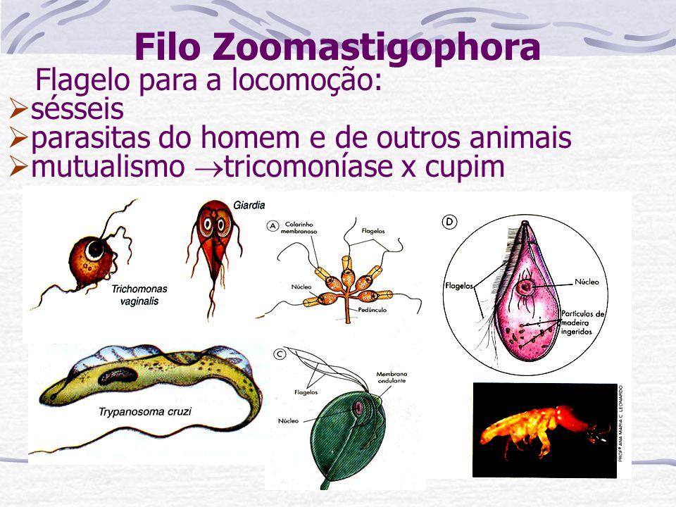 Filo Zoomastigophora Flagelo para a locomoção: sésseis