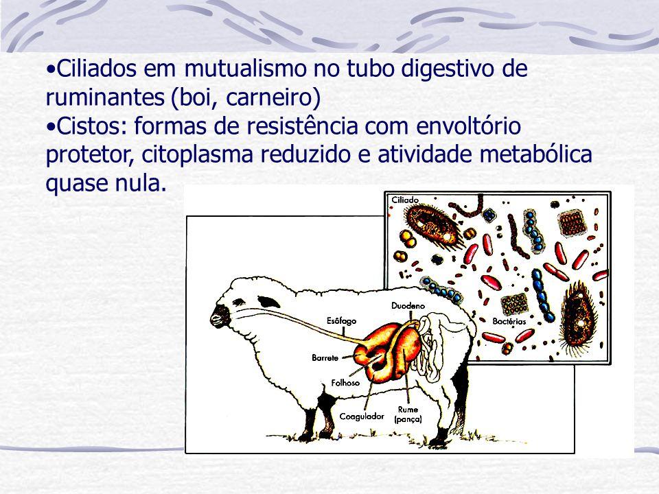 Ciliados em mutualismo no tubo digestivo de ruminantes (boi, carneiro)