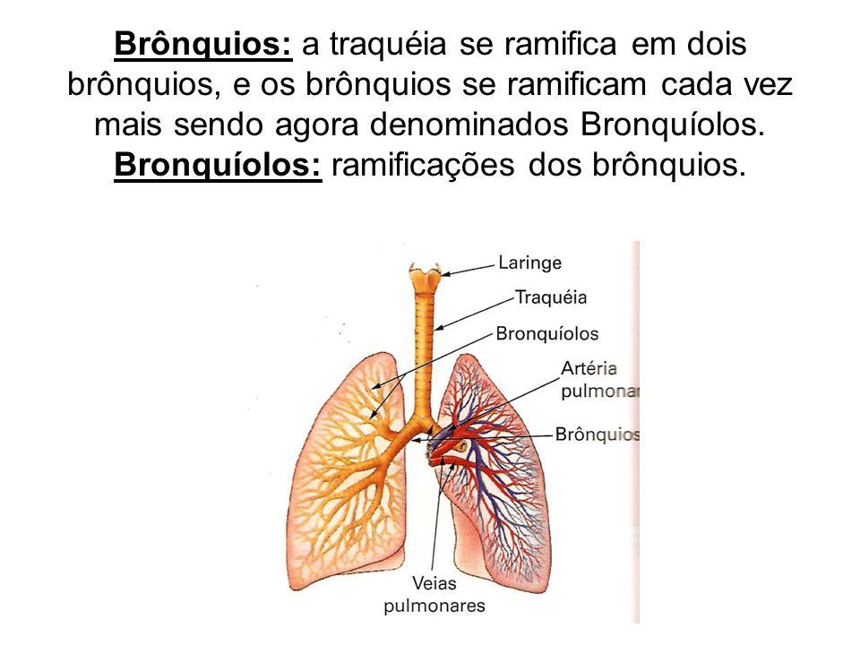 Brônquios: a traquéia se ramifica em dois brônquios, e os brônquios se ramificam cada vez mais sendo agora denominados Bronquíolos.