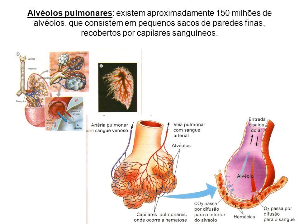 Alvéolos pulmonares: existem aproximadamente 150 milhões de alvéolos, que consistem em pequenos sacos de paredes finas, recobertos por capilares sanguíneos.