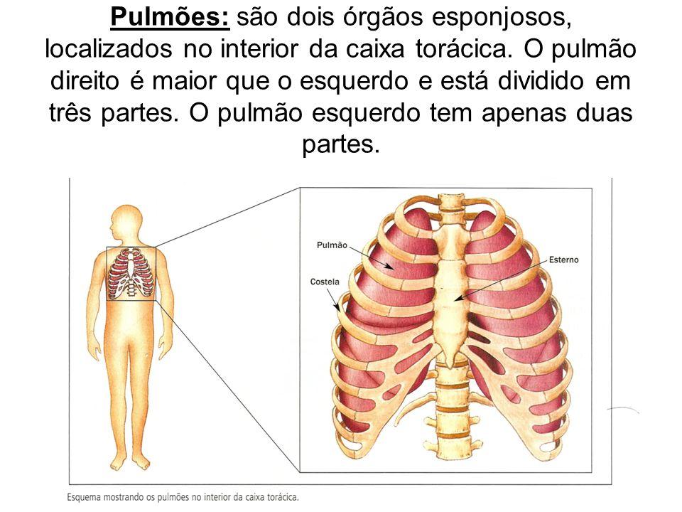 Pulmões: são dois órgãos esponjosos, localizados no interior da caixa torácica.
