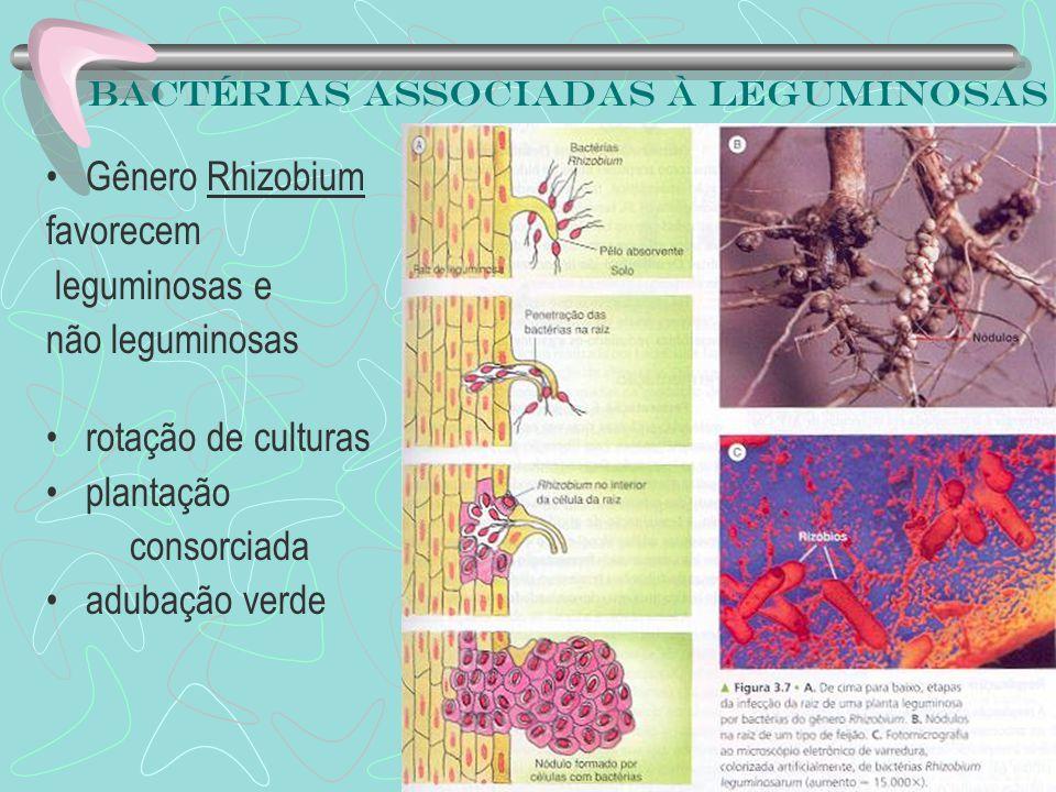Bactérias associadas à leguminosas