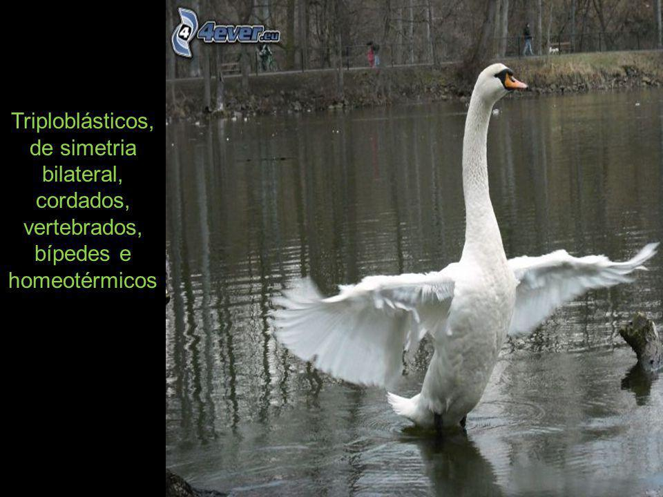 Triploblásticos, de simetria bilateral, cordados, vertebrados, bípedes e homeotérmicos