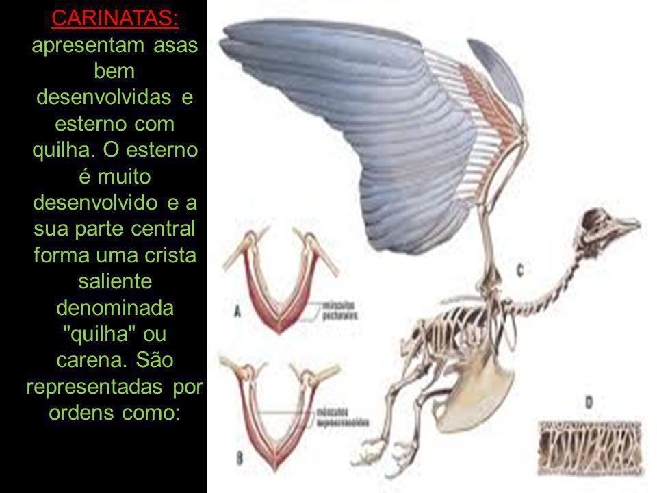 CARINATAS: apresentam asas bem desenvolvidas e esterno com quilha