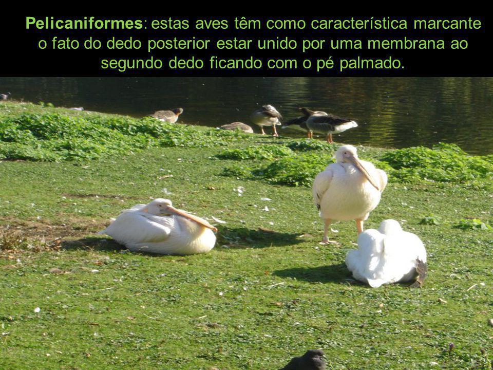 Pelicaniformes: estas aves têm como característica marcante o fato do dedo posterior estar unido por uma membrana ao segundo dedo ficando com o pé palmado.