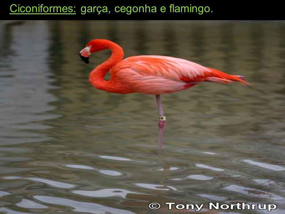 Ciconiformes: garça, cegonha e flamingo.