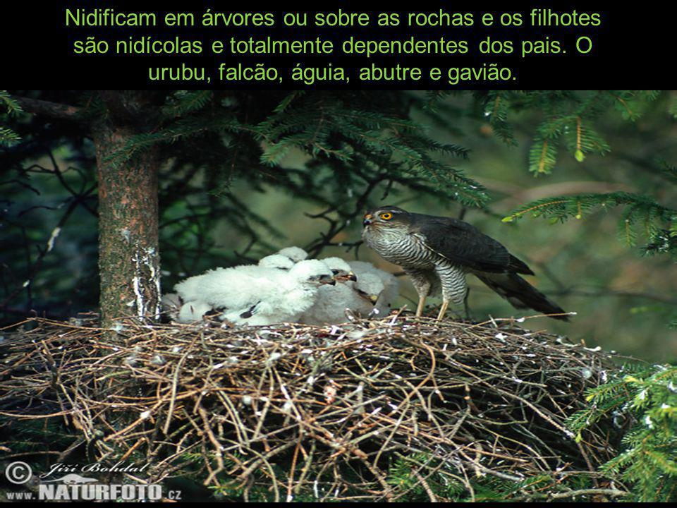 Nidificam em árvores ou sobre as rochas e os filhotes são nidícolas e totalmente dependentes dos pais.