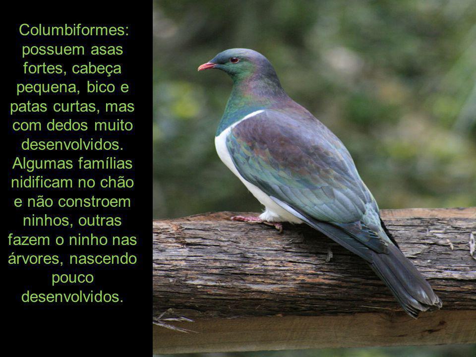 Columbiformes: possuem asas fortes, cabeça pequena, bico e patas curtas, mas com dedos muito desenvolvidos.