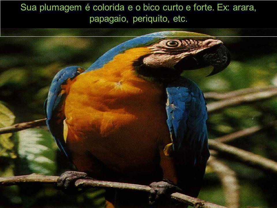 Sua plumagem é colorida e o bico curto e forte