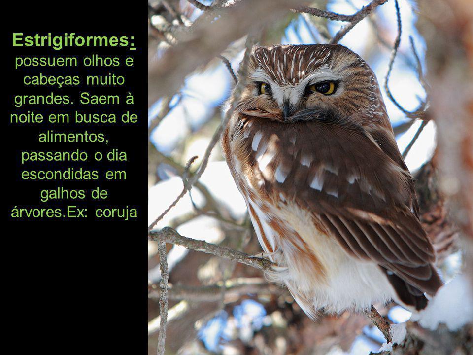 Estrigiformes: possuem olhos e cabeças muito grandes
