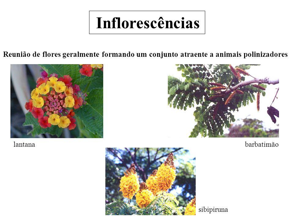 Inflorescências Reunião de flores geralmente formando um conjunto atraente a animais polinizadores.