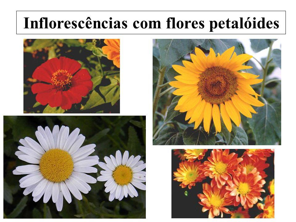 Inflorescências com flores petalóides
