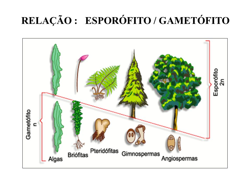 RELAÇÃO : ESPORÓFITO / GAMETÓFITO