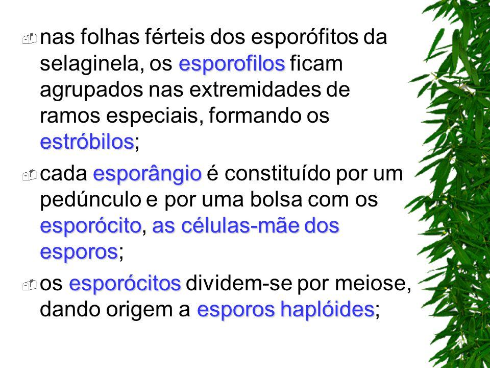 nas folhas férteis dos esporófitos da selaginela, os esporofilos ficam agrupados nas extremidades de ramos especiais, formando os estróbilos;