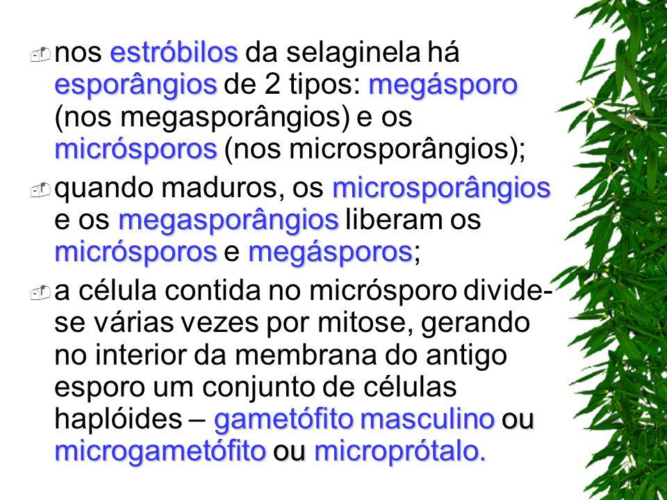 nos estróbilos da selaginela há esporângios de 2 tipos: megásporo (nos megasporângios) e os micrósporos (nos microsporângios);
