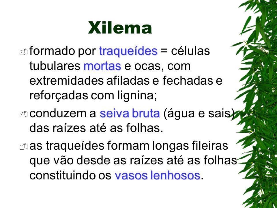 Xilema formado por traqueídes = células tubulares mortas e ocas, com extremidades afiladas e fechadas e reforçadas com lignina;