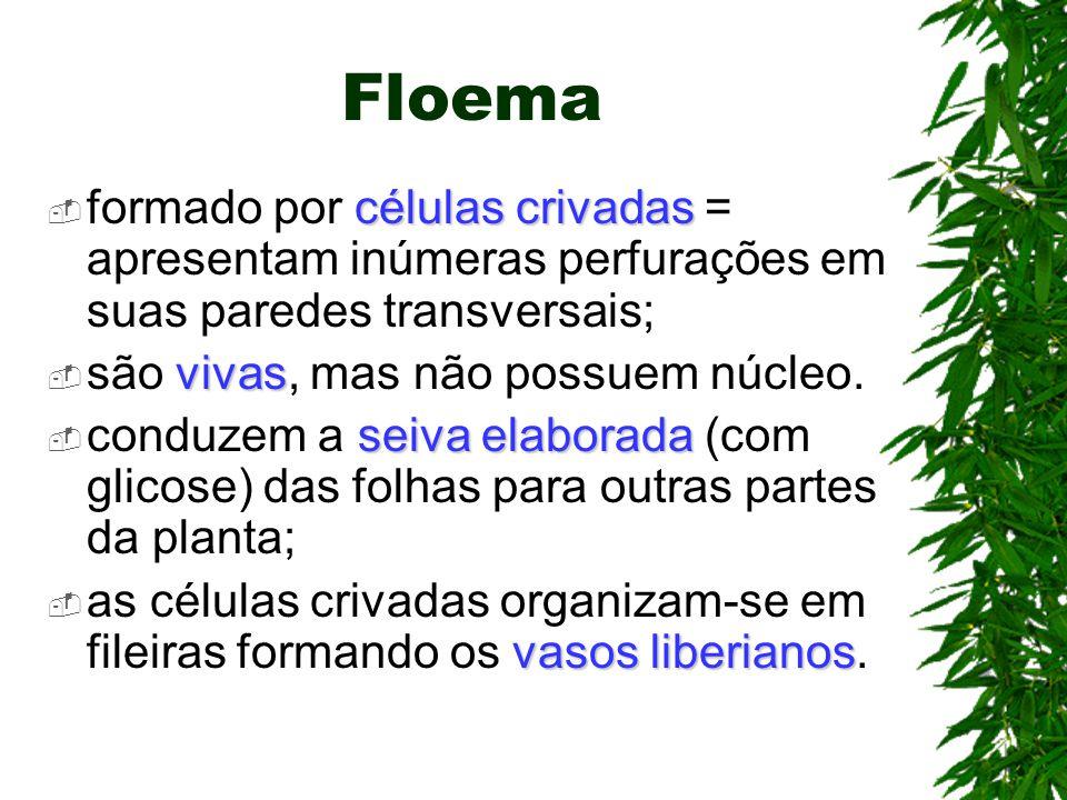 Floema formado por células crivadas = apresentam inúmeras perfurações em suas paredes transversais;