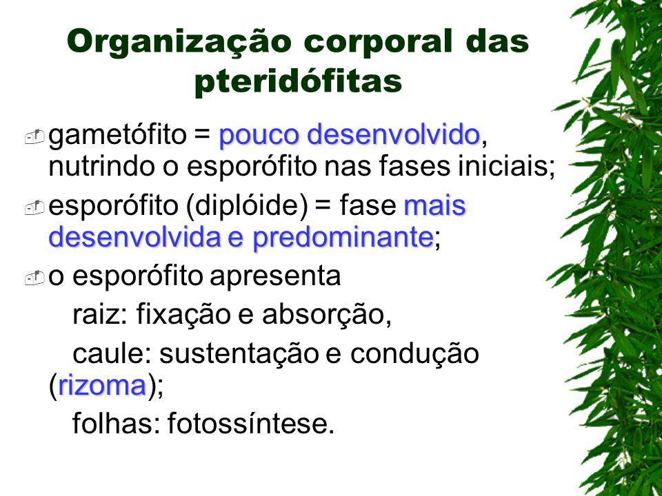 Organização corporal das pteridófitas