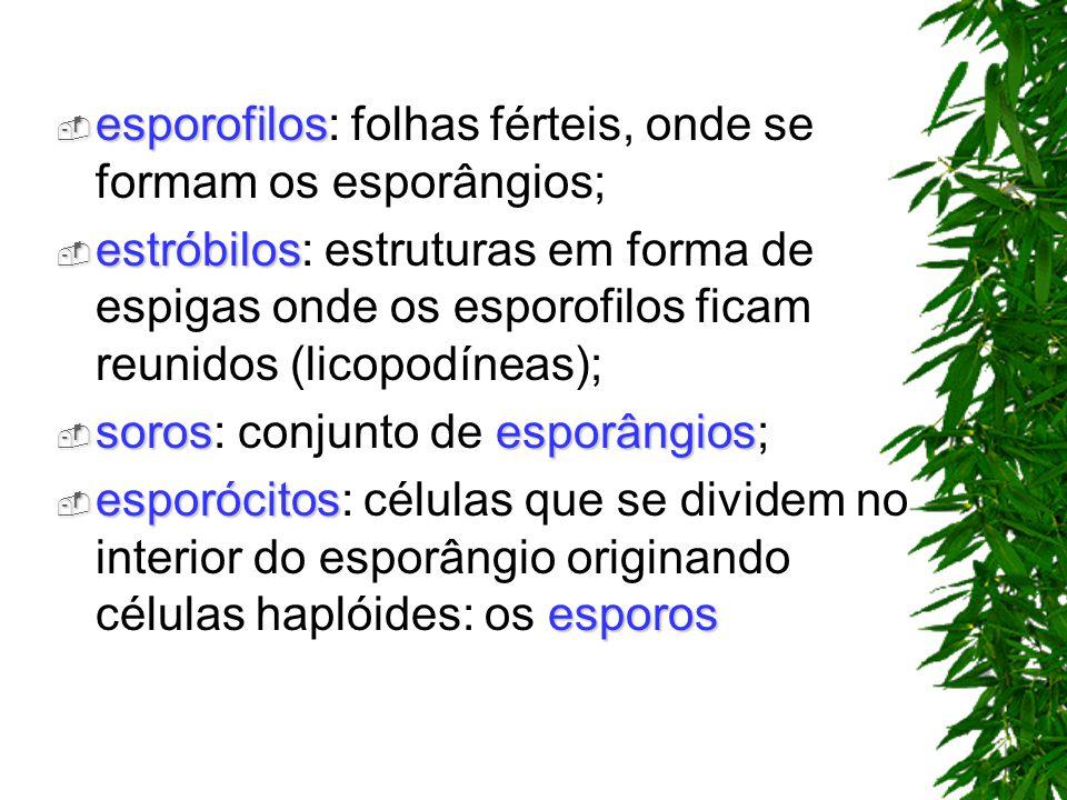 esporofilos: folhas férteis, onde se formam os esporângios;
