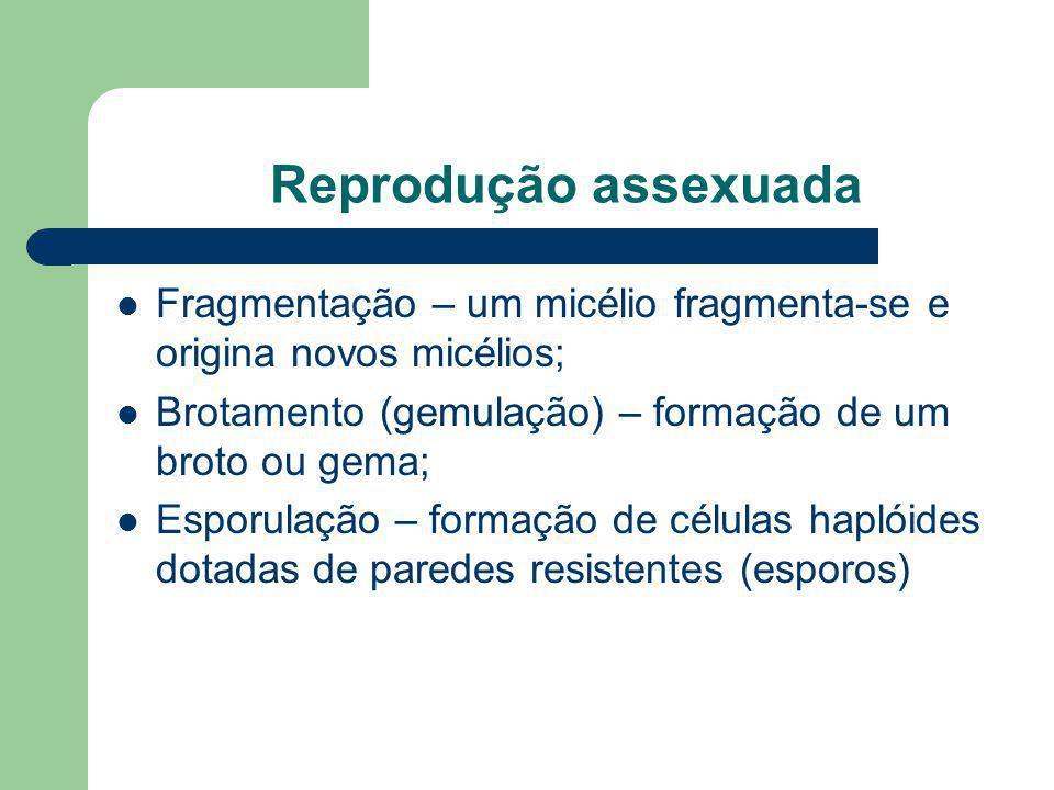 Reprodução assexuada Fragmentação – um micélio fragmenta-se e origina novos micélios; Brotamento (gemulação) – formação de um broto ou gema;
