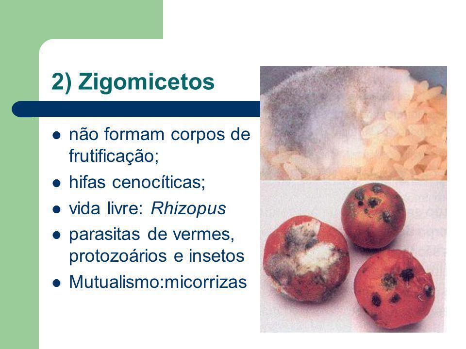 2) Zigomicetos não formam corpos de frutificação; hifas cenocíticas;