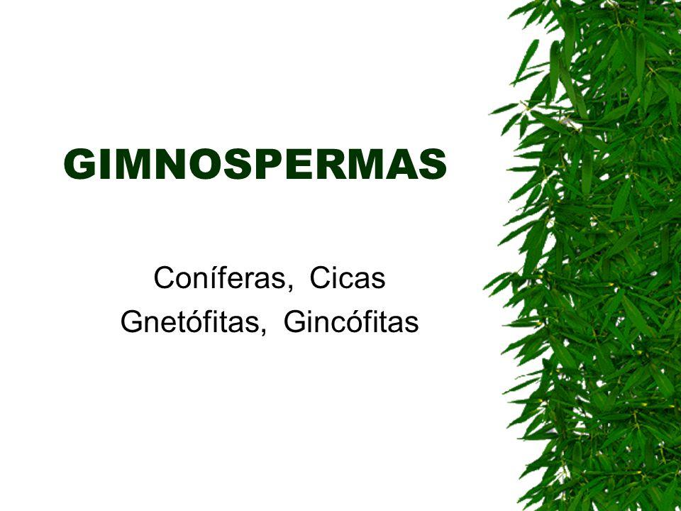 Coníferas, Cicas Gnetófitas, Gincófitas
