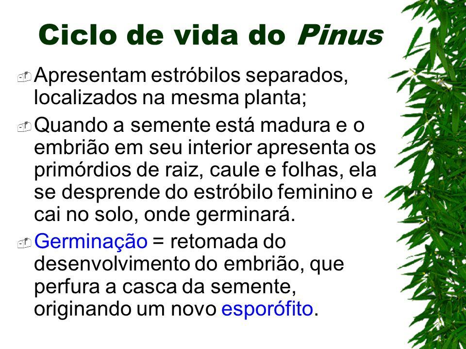 Ciclo de vida do Pinus Apresentam estróbilos separados, localizados na mesma planta;