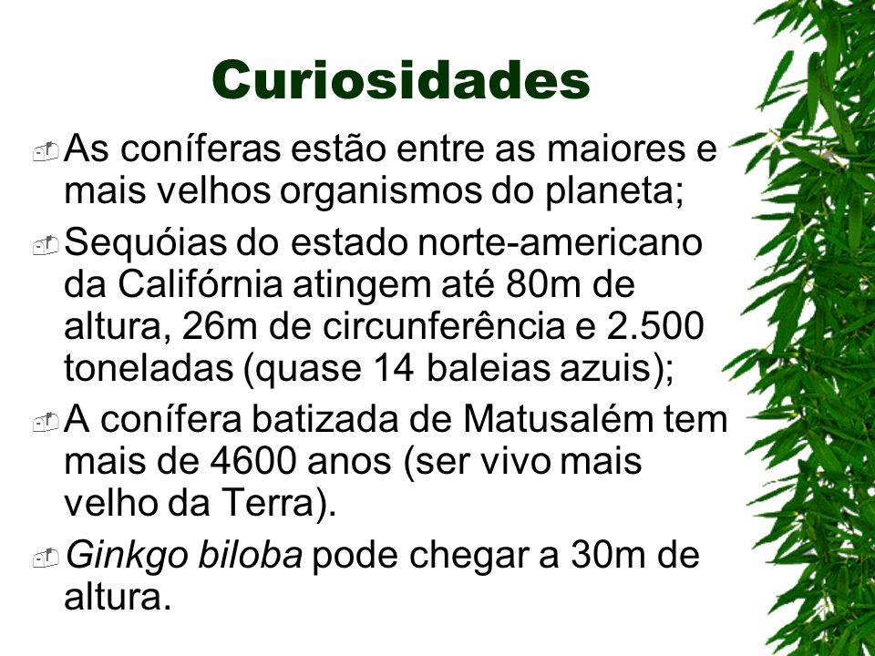 Curiosidades As coníferas estão entre as maiores e mais velhos organismos do planeta;
