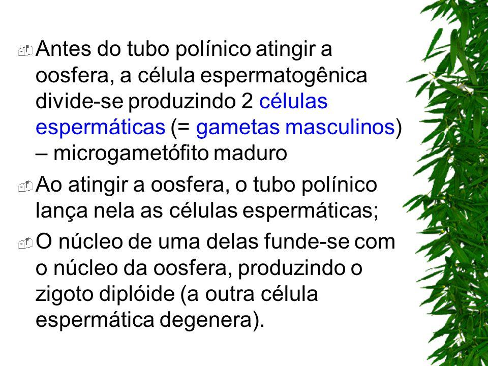 Antes do tubo polínico atingir a oosfera, a célula espermatogênica divide-se produzindo 2 células espermáticas (= gametas masculinos) – microgametófito maduro