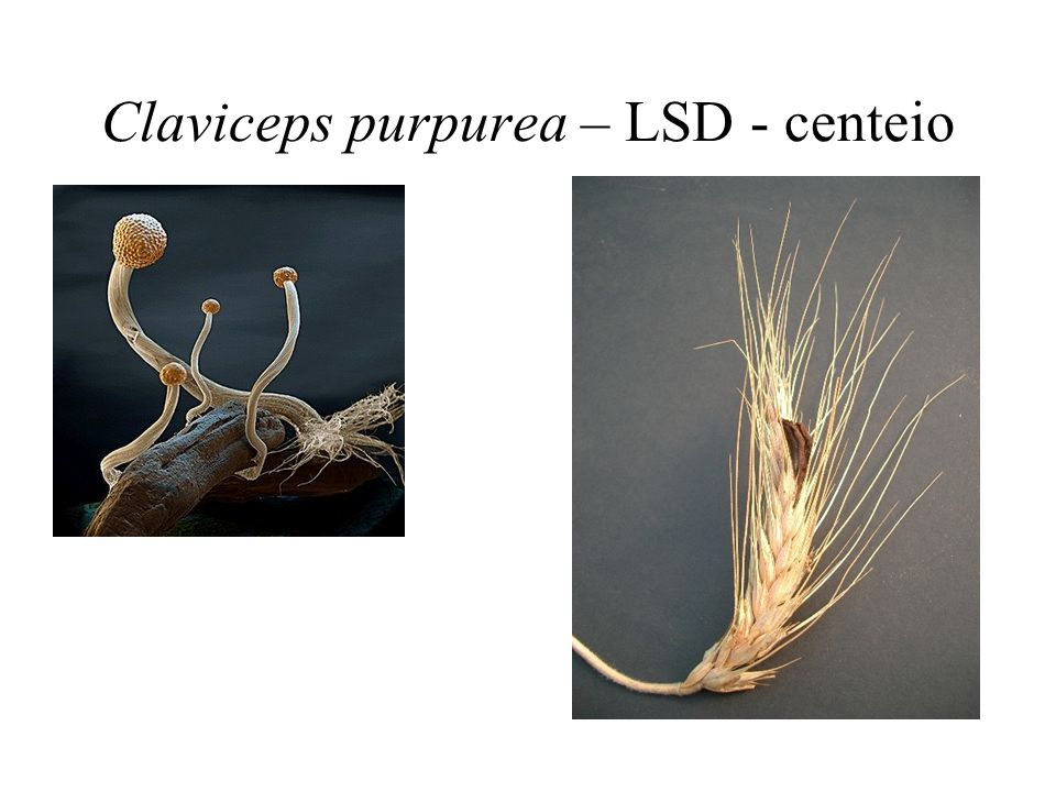 Claviceps purpurea – LSD - centeio