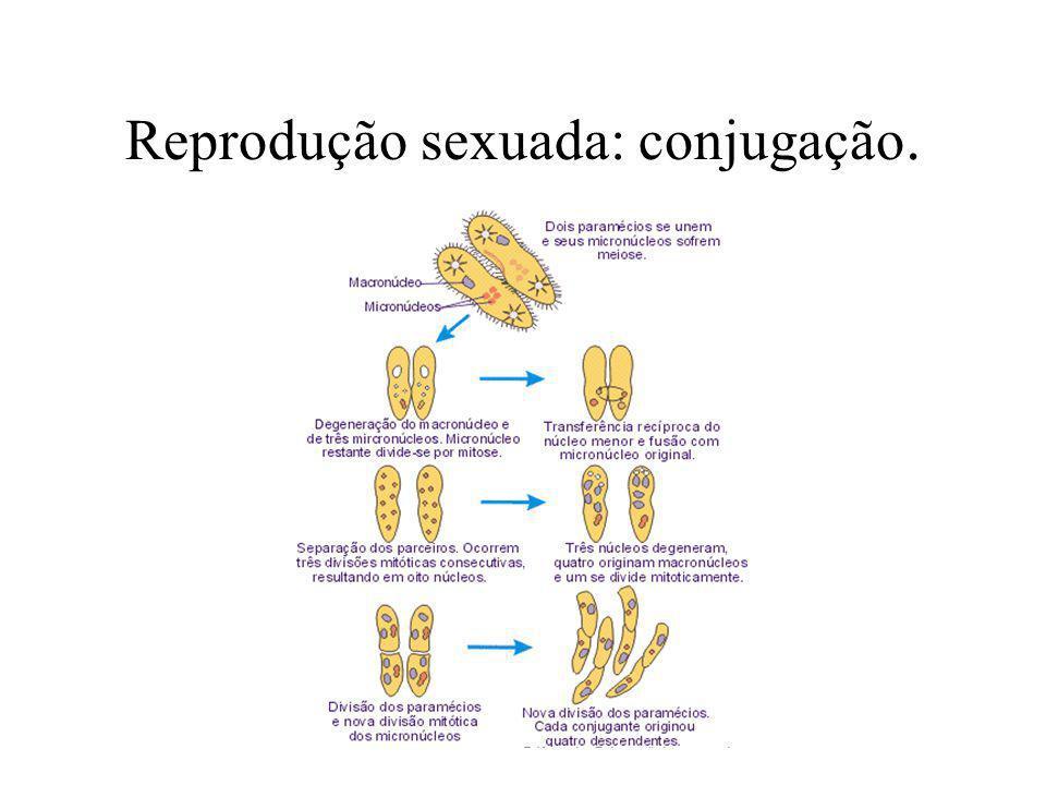 Reprodução sexuada: conjugação.