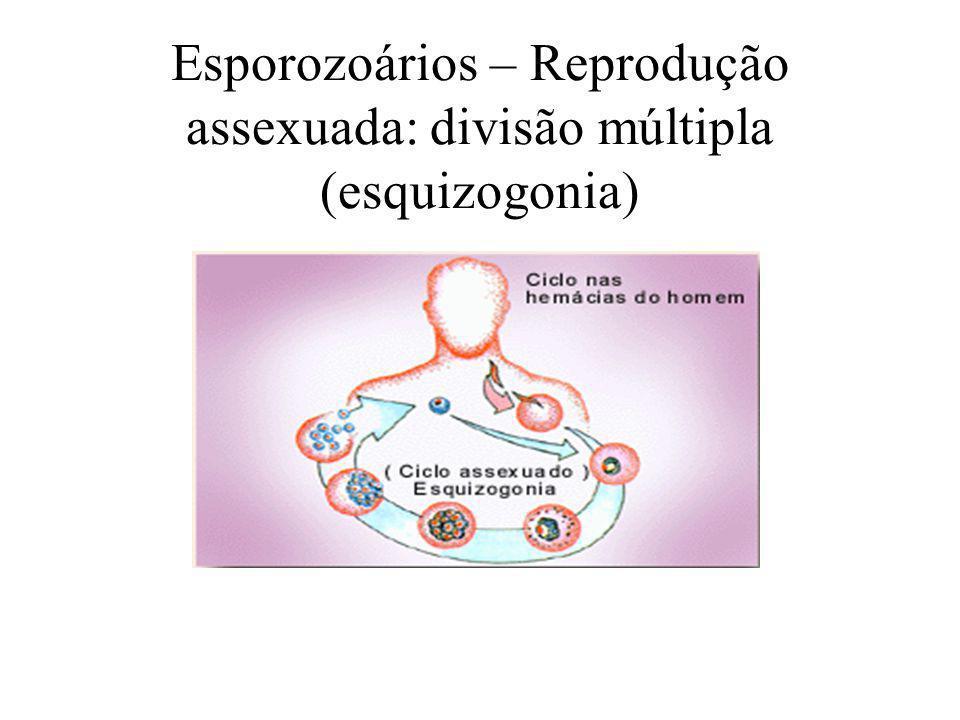 Esporozoários – Reprodução assexuada: divisão múltipla (esquizogonia)