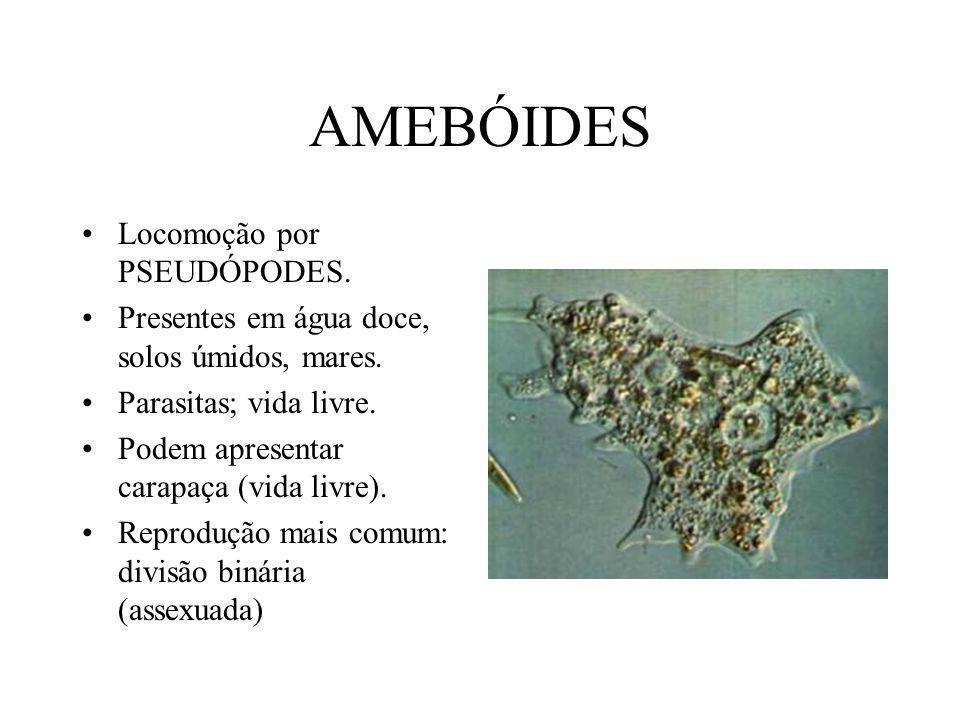 AMEBÓIDES Locomoção por PSEUDÓPODES.