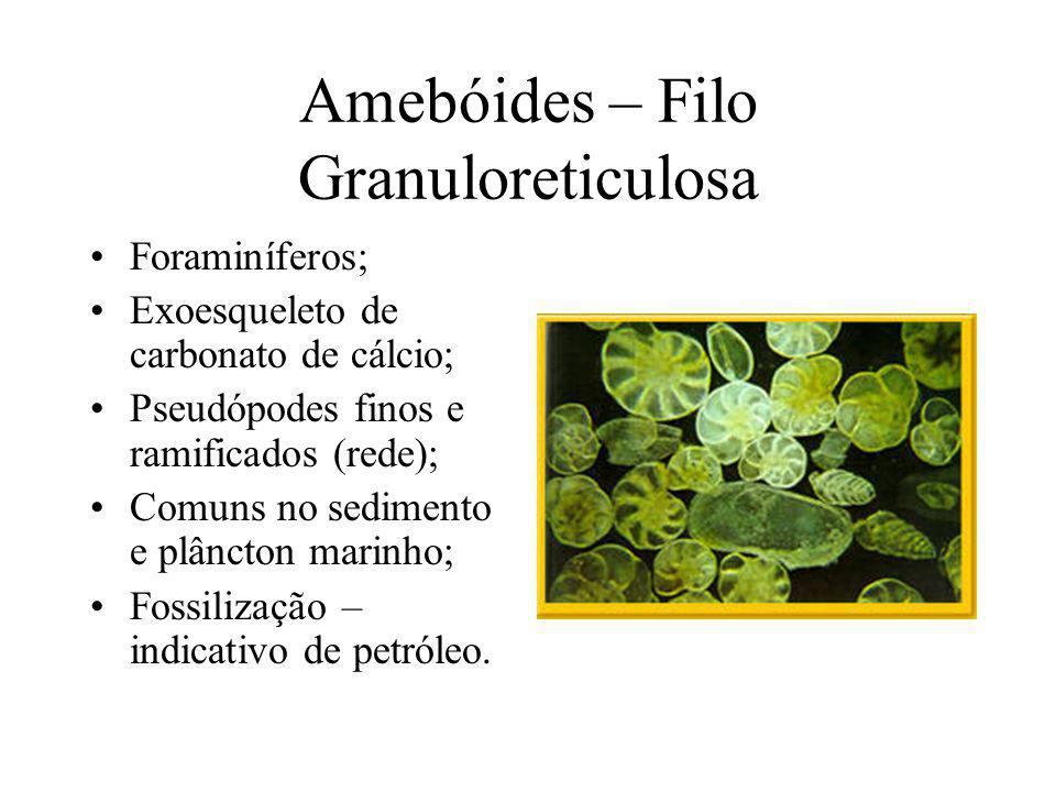 Amebóides – Filo Granuloreticulosa