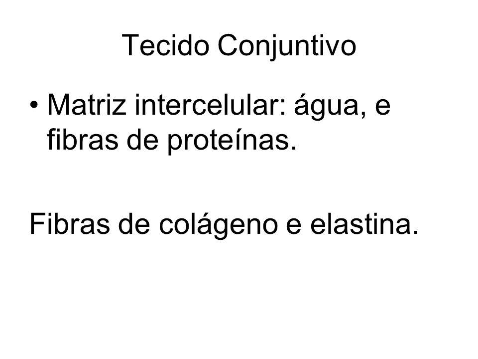 Tecido Conjuntivo Matriz intercelular: água, e fibras de proteínas. Fibras de colágeno e elastina.