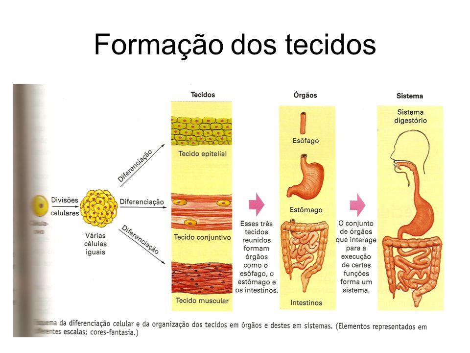 Formação dos tecidos
