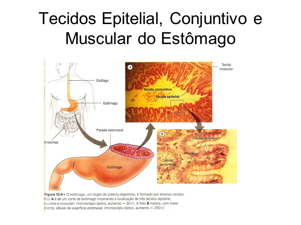 Tecidos Epitelial, Conjuntivo e Muscular do Estômago