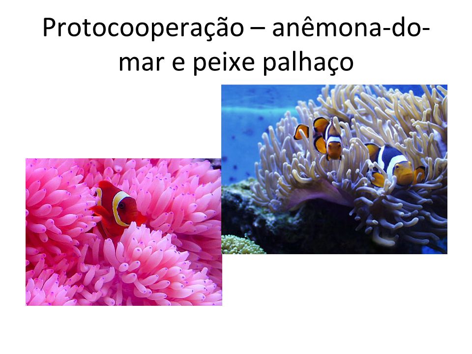 Protocooperação – anêmona-do-mar e peixe palhaço