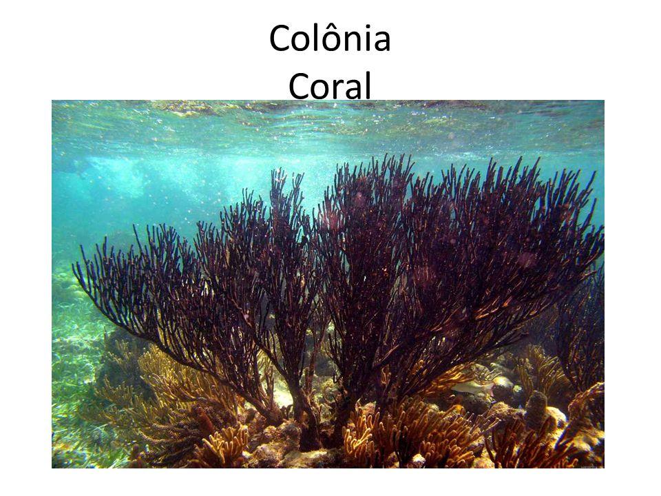 Colônia Coral