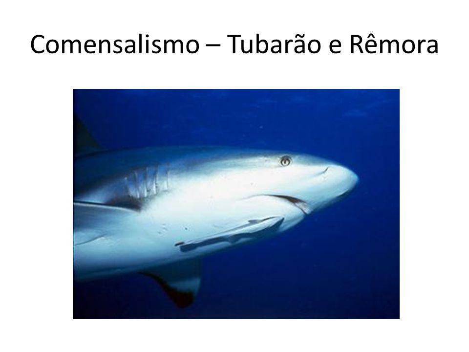 Comensalismo – Tubarão e Rêmora