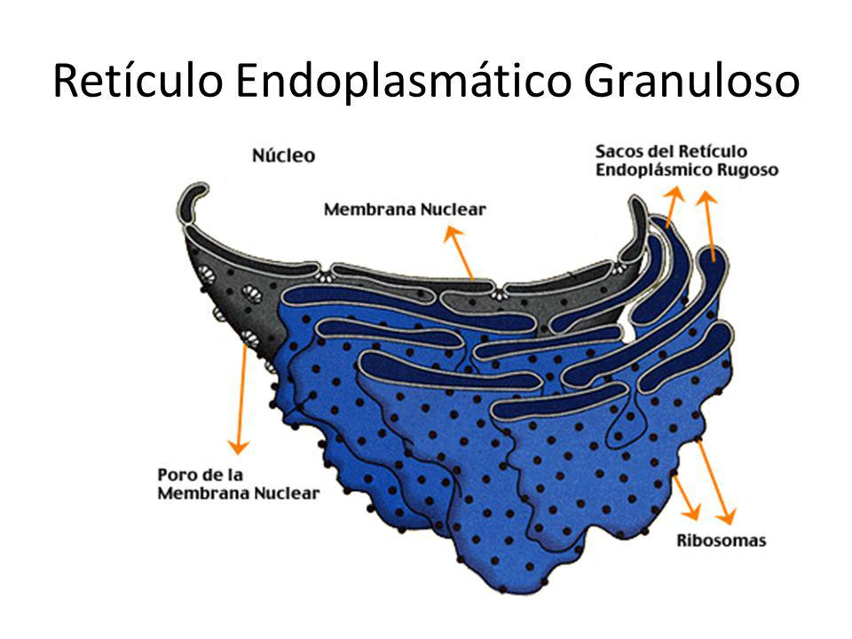 Retículo Endoplasmático Granuloso