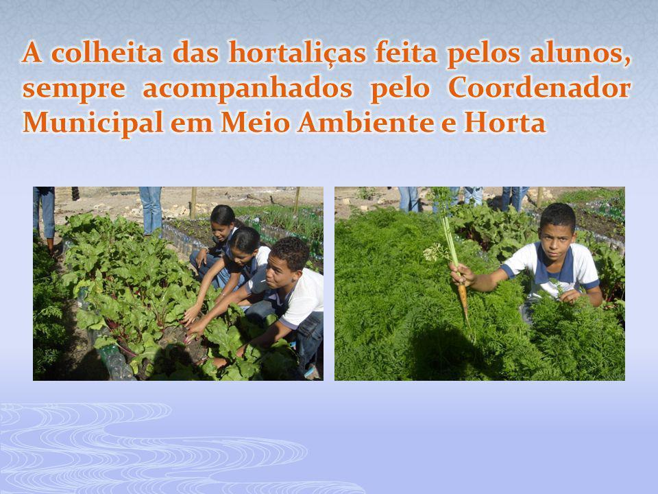 A colheita das hortaliças feita pelos alunos, sempre acompanhados pelo Coordenador Municipal em Meio Ambiente e Horta