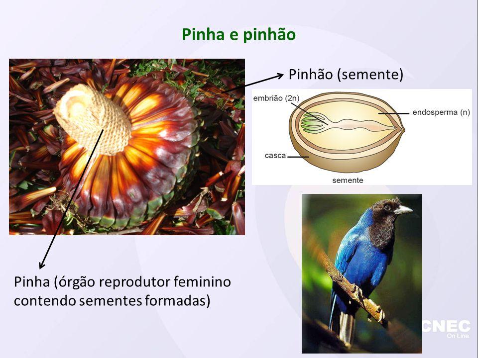 Pinha e pinhão Pinhão (semente)