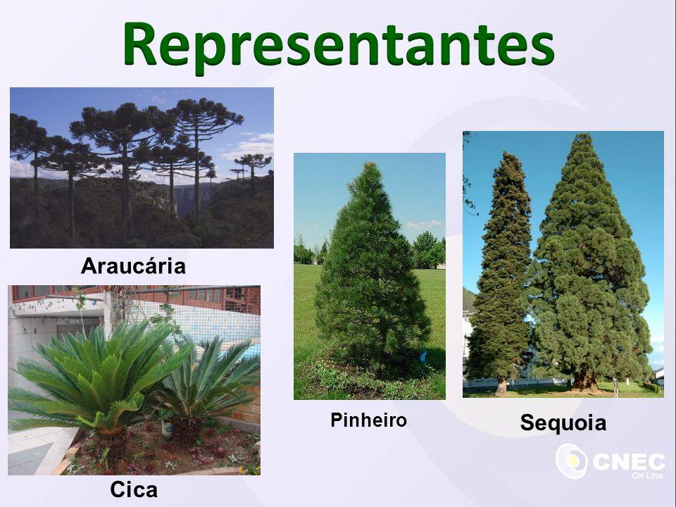 Representantes Araucária Pinheiro Sequoia Cica