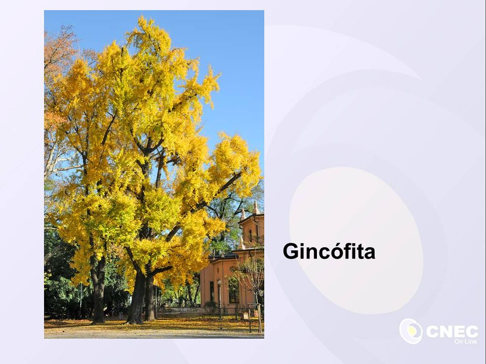 Gincófita