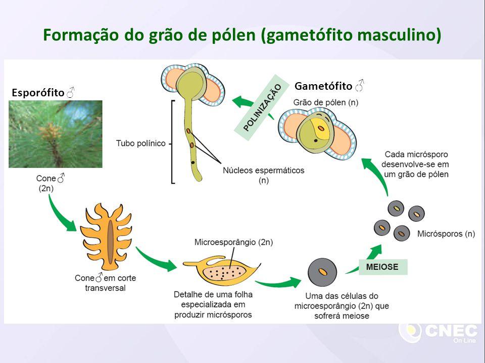Formação do grão de pólen (gametófito masculino)
