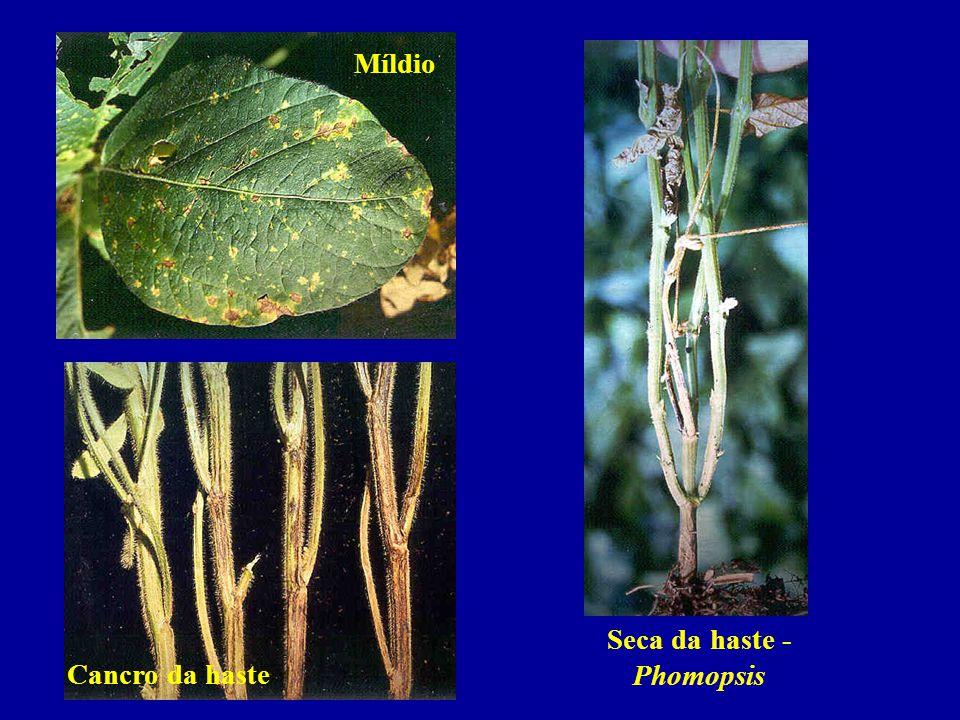 Míldio Seca da haste - Phomopsis Cancro da haste