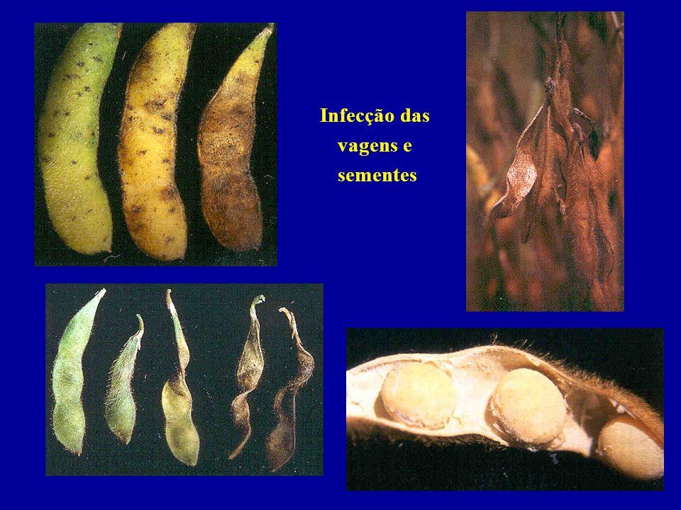 Infecção das vagens e sementes