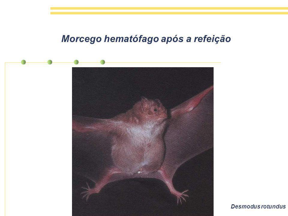Morcego hematófago após a refeição